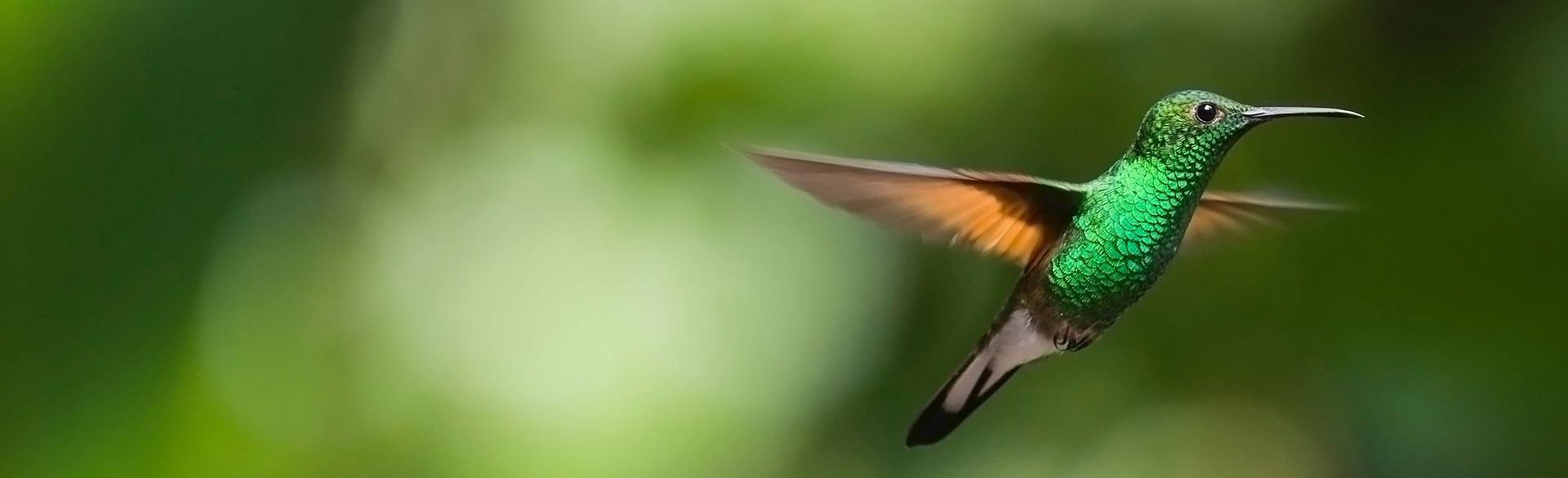 colibri je latinsky kolibřík